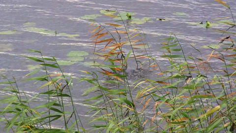 reed in the wind in the water Stock Video Footage