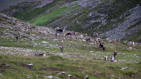 Reindeer graze on the tundra Stock Video Footage