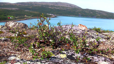 dwarf birch on the rock Stock Video Footage