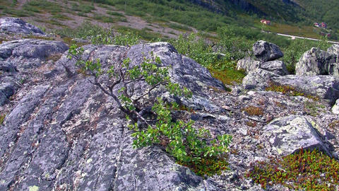 dwarf birch growing on the rock Stock Video Footage