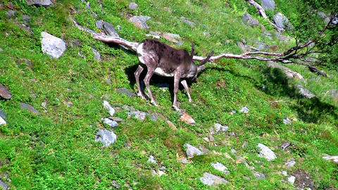 Reindeer graze on the mountains, Norway Footage