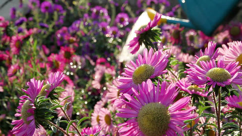Flowers and spray Stock Video Footage
