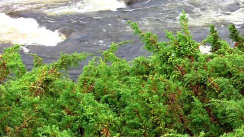 juniper sway over the river Stock Video Footage