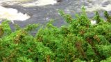 Juniper Sway Over The River stock footage