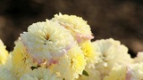 Dew On The Chrysanthemums stock footage