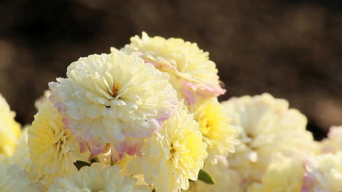 Dew on the chrysanthemums Stock Video Footage