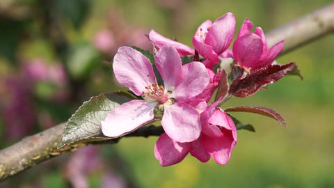 Pink apple Blossoms Stock Video Footage