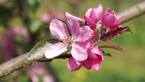 Pink apple Blossoms Footage