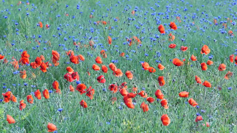 Poppies and Cornflowers on a Mountain Meadow Footage