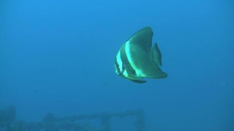 Juvenile Batfish on HMAS Brisbane Stock Video Footage