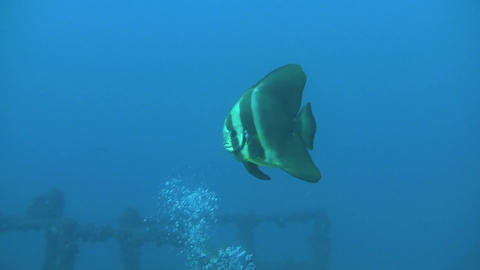 Juvenile Batfish on HMAS Brisbane Stock Video Footage