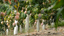 Mangoes Fruit Hanging In Plantation Of Trees stock footage