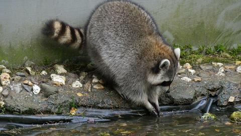 4K UHD North american raccoon (Procyon lotor) wash Footage
