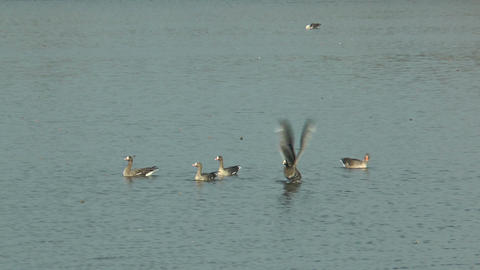 slow motion white-fronted geese (anser albifrons)  Footage