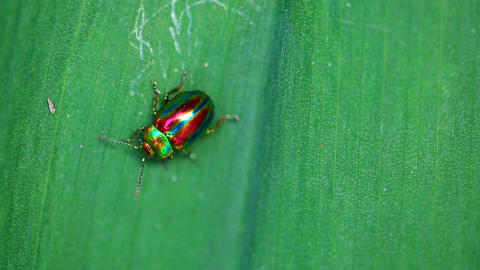 Chrysolina Americana stock footage