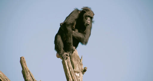 A black chimpanzee on top of a stem FS700 4K Footage