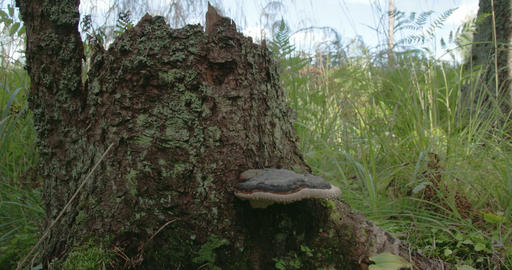 A polypore mushroom found on a trunk of a tree FS7 Footage