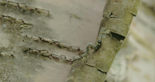 A moth curling up its body to climb up the stem FS Footage