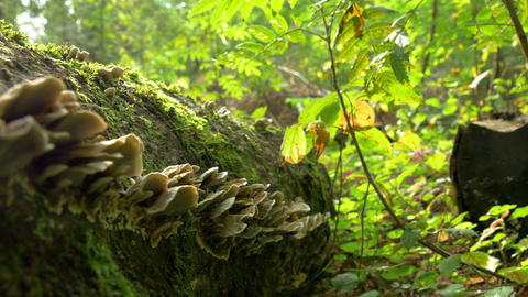 Lots of Fomitopsis Pinicola found on the trunk of  Footage