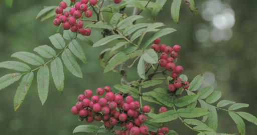 Bunch of Sorbus aucuparia fruits that are pinkish  Footage