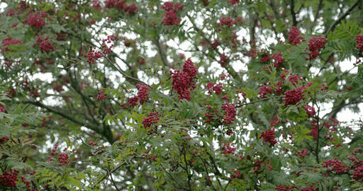 Bunch of Sorbus fruits bloomed on its trees FS700  Footage