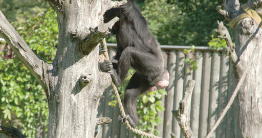 A chimpanzee crossing walking and hanging on the r Footage
