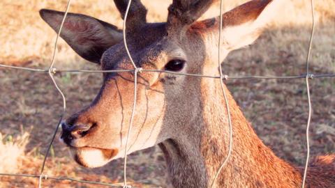 Deer Close Up stock footage