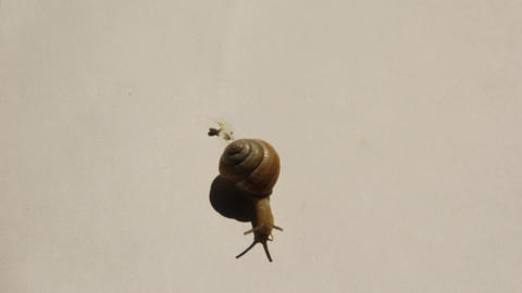 A snail goes leaves a slimy trail 9667 Footage