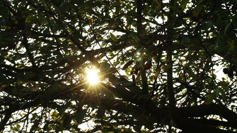 Sunrise Behind Autumn Walnut Tree Leaves Timelapse stock footage