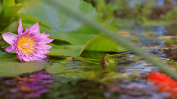 Beautiful Flower In Pond With A Fish stock footage
