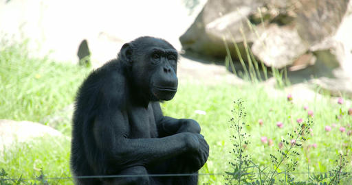 A Black Common Chimpanzee Sitting On The Grass FS7 stock footage
