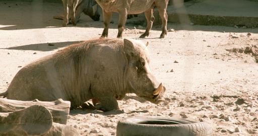 A Small Desert Warthog Walking And Then Lying On T stock footage