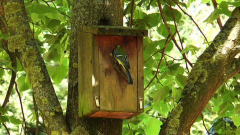 great tit (parus major) arriving at nesting box Footage