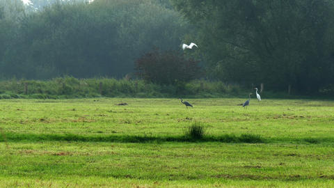 Grey Herons And Greate Egrets In Marshland stock footage