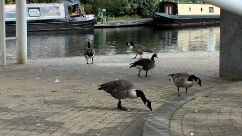 Flock Of Canada Geese On The Waterfront stock footage