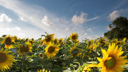 sunflower field summer countryside 4k Footage