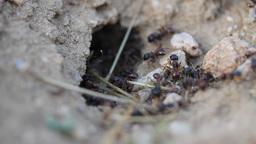 Desert Ants 001 video Footage
