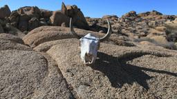 2011 Cow Skull 1 PJPEG Footage