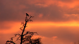 sunset crow 1 Stock Video Footage