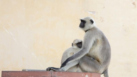 Gray Langur Monkey Holding Infant Stock Video Footage
