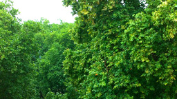 Old English Oak Trees in the Rain Stock Video Footage