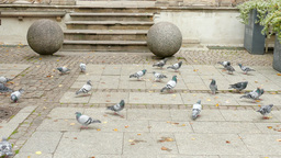 Rock dove. Pigeons in the city. Gdansk, Poland Stock Video Footage