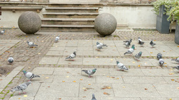 Rock dove. Pigeons in the city. Gdansk, Poland Footage