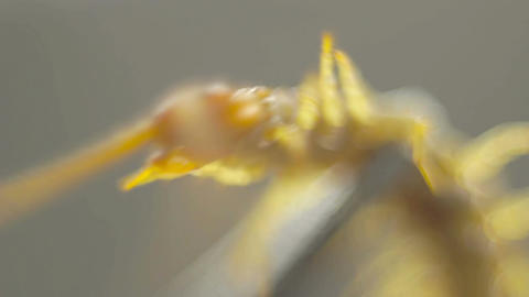Closeup of centipede struggling against a pair of Footage