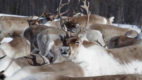 Reindeers stock footage