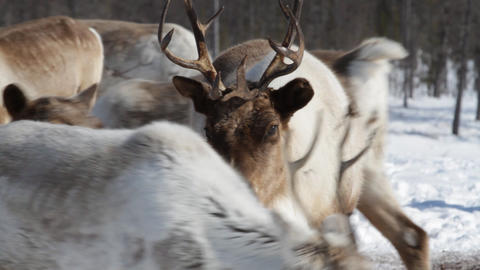 Reindeers Footage