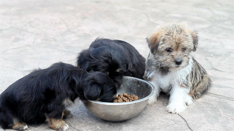 Three puppies eating from the bowl 1 Footage