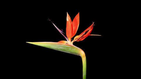 Blooming Strelitzia flower buds ALPHA matte, FULL Footage