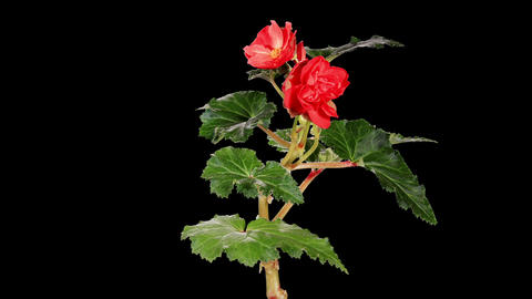 Blooming red Begonia flower buds ALPHA matte, FULL Footage