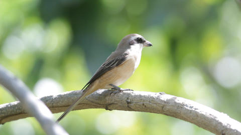 Brown Shrike stock footage